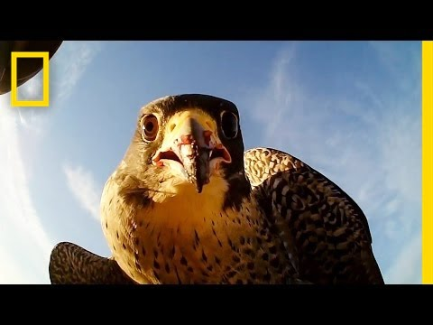 Forget Scarecrows—Falcons Protect This Farm | National Geographic
