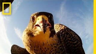 Forget Scarecrows—Falcons Protect This Farm