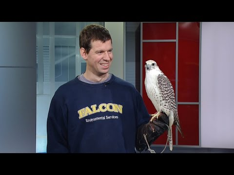 Juliet, the falcon, appears on new CBC show