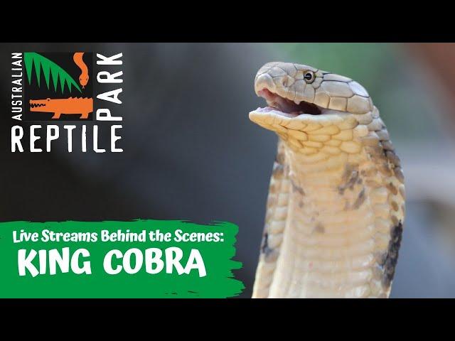 LIVE WITH KING COBRA   AUSTRALIAN REPTILE PARK