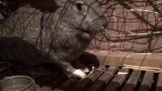 Беременная крольчиха, сукрольная, поведение