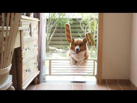Funny corgi tries desperately to jump over gate to reach hanging toys