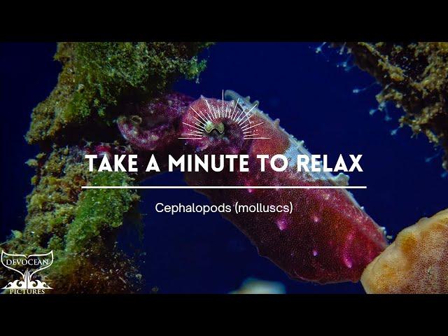 Take a Minute XXX : Cephalopods