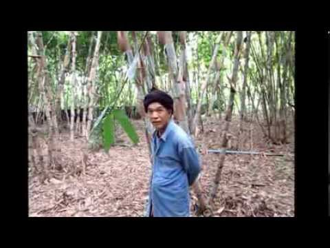 Farming bamboos in Thailand 1 interview bambooman