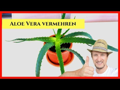 Aloe Vera Vermehren Stecklinge 🔴