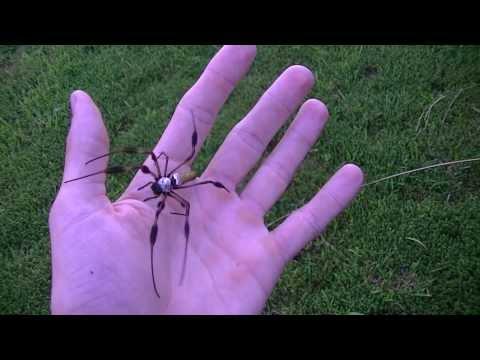 Me Handling Nephilla Clavipes (Golden Silk Spider)