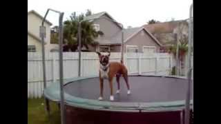 Pies skacze na trampolinie