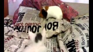 Морская свинка и кот (знакомство).