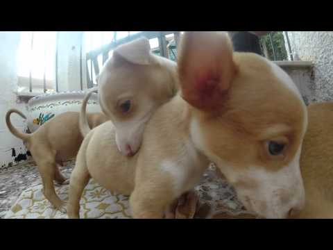 The sweetest minute of your life. Podenco Puppies!