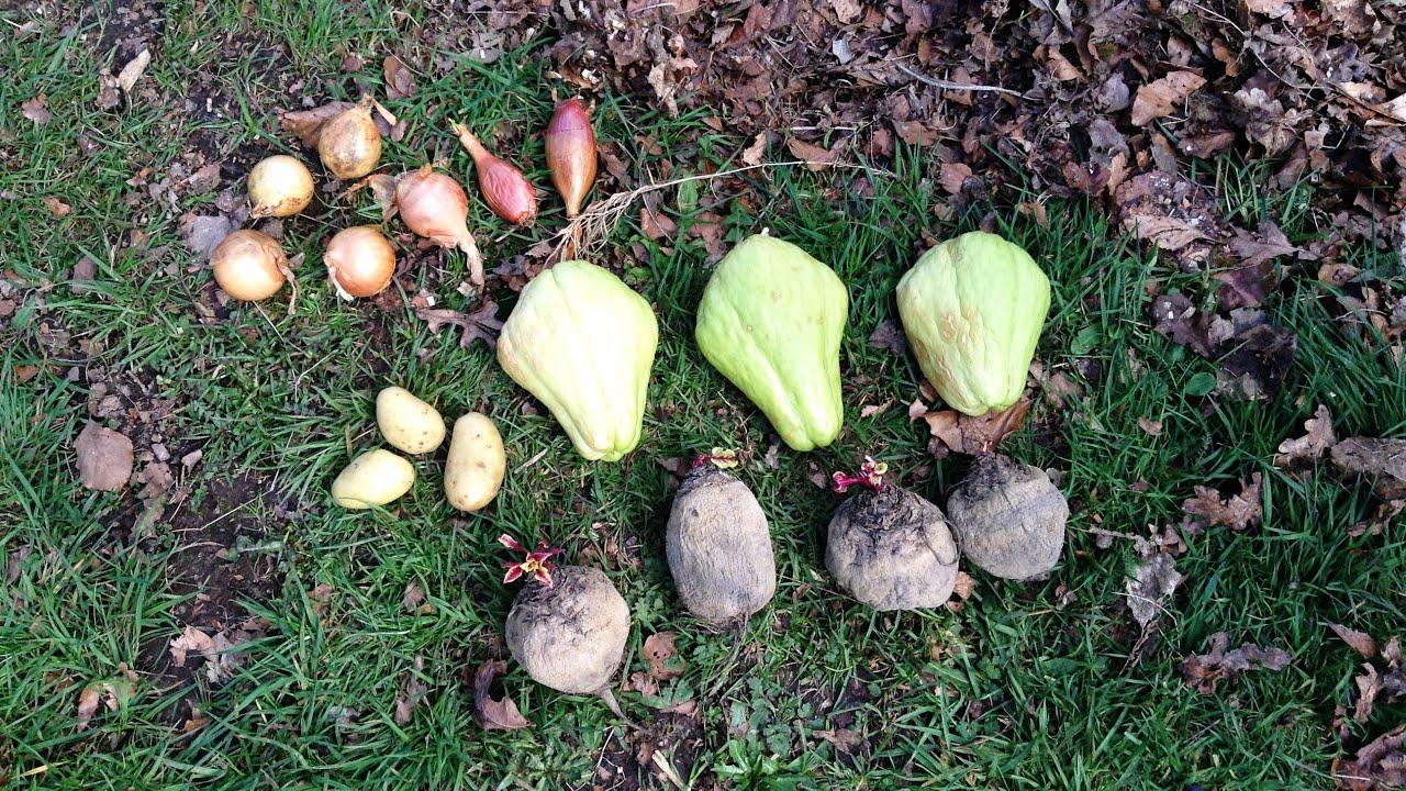 planter bulbes oignons chalotes chayotte christophine pommes de terre betterave dans sol. Black Bedroom Furniture Sets. Home Design Ideas