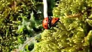 Sex (7-spot Ladybirds) Ladybirds mating