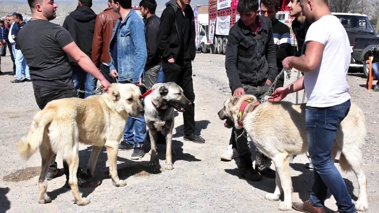 SiVAS KANGAL KÖPEKLERi Sivas'ta Yarıştılar...