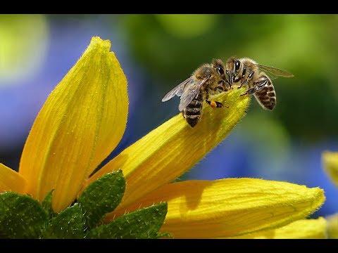 llllll------Bienen Doku 2018 warum sie sterben 2018 HD------lllll thumbnail
