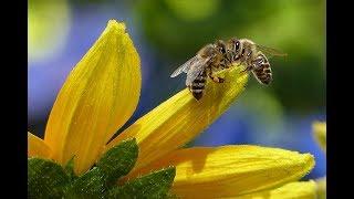 llllll------Bienen Doku 2018 warum sie sterben 2018 HD------lllll