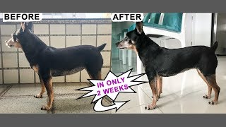 Lighter Happier Younger Dog in Just 2 Weeks