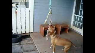 Pitbull Training...how To Get Your Dog Ripped With Muscle..... - Youtube