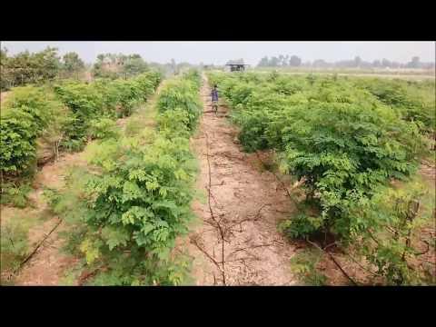 Aayuritz Organic Moringa Farm