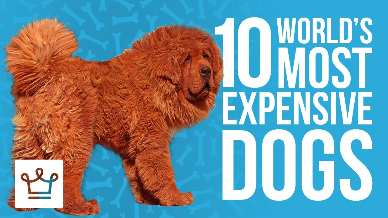 top 10 most expensive dogs in the world youtube