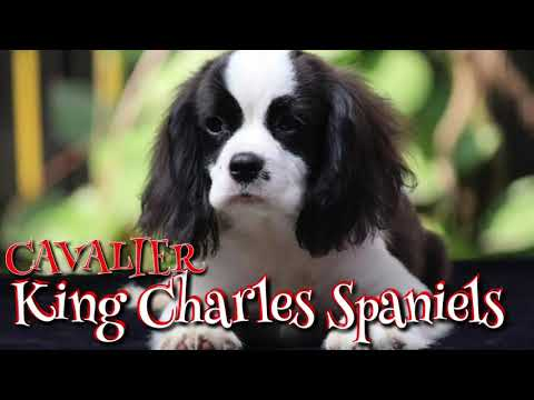 Cavalier King Charles Spaniel Puppies available in India. Rare Breed Dogs in India.