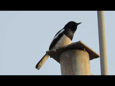 Oriental Magpie Robin singing merrily
