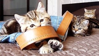 Funny Cats : Cute  Kittens Want  Jeans Too