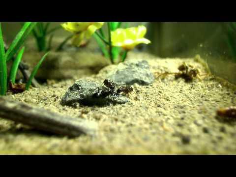 Amazing! Random Scenes of a Hibernating Camponotus noveboracensis Colony [HD] - Part 2