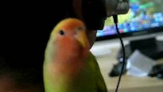 lovebird singing