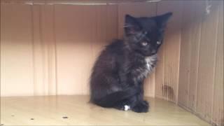 Котенок кошечка окрас черно-белый Красноярск