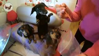 Моя собака ♥️ такса. Чистим зубы таксе (собаке). Как и чем чистить зубы собаке?