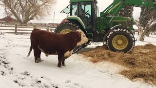 Hereford bull having fun with new winter bedding