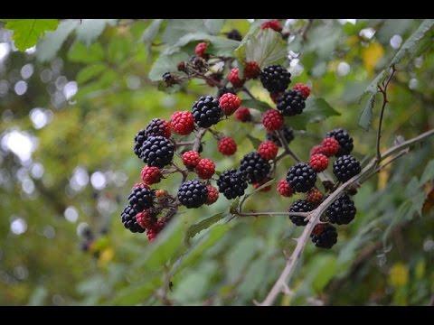 Blackberry Update Raising Blackberries