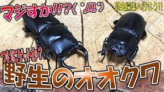 クワガタ&カブトムシ☆昆虫採集2017 ついに野生のオオクワゲット?クワ...