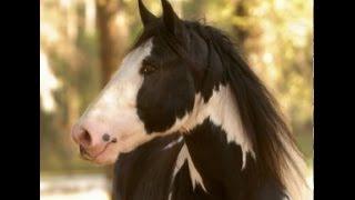 Os Belos Cavalos Gypsy Vanner