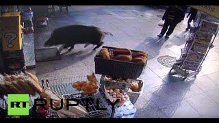 Video Swimming the Bosphorus: Wild Boar terrorizes Istanbul locals download MP3, 3GP, MP4, WEBM, AVI, FLV September 2018