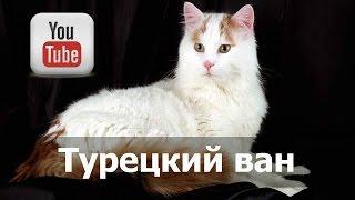 Порода кошек Турецкий ван (ванская кошка)