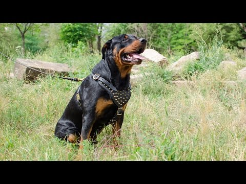 Strong leather dog harness with beautiful spikes for Rottweiler to walk in style