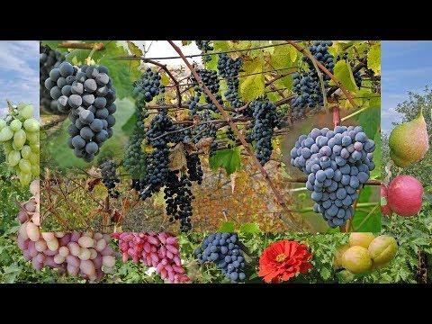Виноград для домашнего вина в средней полосе