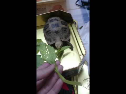 For elongated tortoise eating