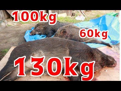 【閲覧注意】猟犬とゆく猪猟  Part74 佐賀県で巨大猪を獲りまくる