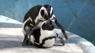 Copulation of African penguin.ケープペンギンの交尾。