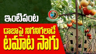 Terrace Gardening | Best Tips to Grow Tomatoes | RaghothamaReddy-7