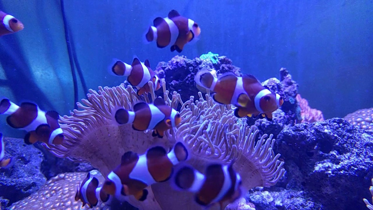 Clownfish and anemone tank