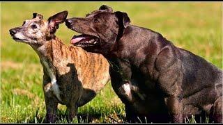 Самая мускулистая собака в мире