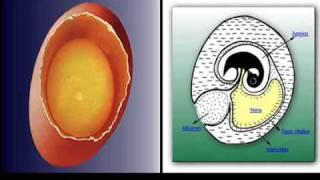 biologia de desarrollo de aves... sokcoo mochis. itlm