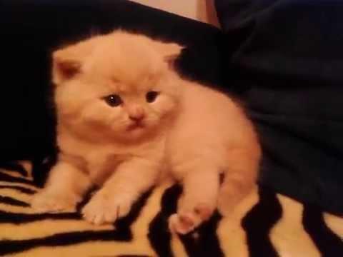 Британский кот персикового цвета