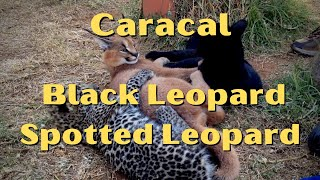 Ollie (Caracal), Nova (Black Leopard) and Aurora (Spotted Leopard)