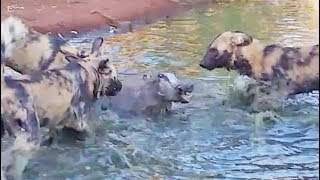 Wild Dogs Disturb a Warthog's Bath