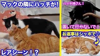 <2匹の猫通信>「ほっこりライブ」ハッチがマックの隣に来たよ!めめちゃんは姉さんの行動が気になるね!2020 02 17- Cat Live Stream in Japan - Cat Life TV