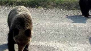 Медведи на Лунском (Сахалин!)