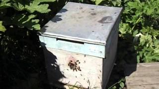 какой улей лучше для начинающего пчеловода ( видео )